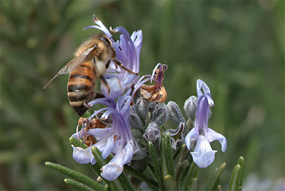rosemary bumble bee